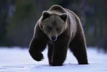 Animal ♞ Bear