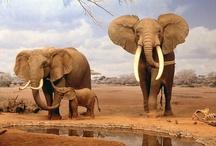 Animal ♞ Elephant