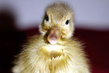"""Fun with my Ducks / Watching my small duck named """"Pelle"""" growing up."""