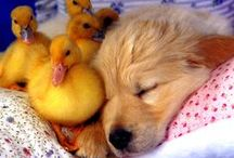 Dogs and Ducks / #Dogs and #Ducks - Sometimes they get along :)