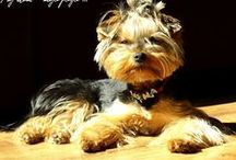 YORKSHIRE TERRIER / puppy, yorkshire terrier, yorky,