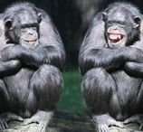 Cousins / Gorillas, chimps and other apes.