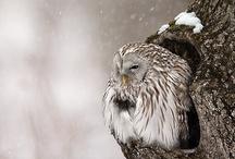 gufi - Owl