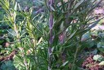 Şifalı Bitkiler / Şifalı bittiler hakkında faydalı bilgiler, yetiştirilişleri, kullanımları