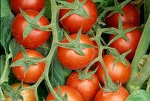 Have - Garden -Tomater -Tomatoes