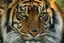 Nature's Beautiful Big Cats / You just have to love them