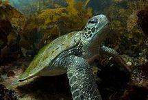Turtles <3 / flippers