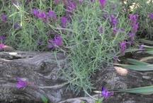 My flowers that i grow / flowers that i grow! / by debbie bakos