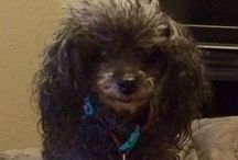 Poodle... / Poodles...Big Ones, Little Ones, Colored Ones, Extreme Groomed Ones....Highly intelligent dogs!! I just LOVE them... / by Keri Seay Neuling☮
