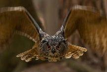 Owl (Chouettes & Hiboux)