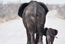 Elephants / One of the worlds most intelligent, beautiful and lovable animals