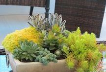 Succulents / Interesting uses of cacti and other succulent plants