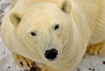 Polar Bears in Churchill, MB