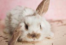 Lop bunnies