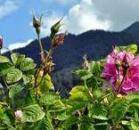 ROSE BOTANICA | Scent / Rose Botanica Collection - Rose Otto, Bois De Rose & Rose Geranium