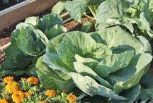 Vegetable Gardening / Children's Vegetable Garden at the San Antonio Botanical Garden