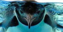 Pingvin / Magamnak szeretettel....:)