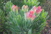 Fynbos of the Cape / The Cape Floral Kingdom (CFK) is a global biodiversity asset, the smallest of the world's six floral kingdoms and the only one to be found entirely within one country. It is home to more types of indigenous plants than any similar sized area on Earth. What makes it even more special is that approximately 70% of its 9000 plant species are found nowhere else on Earth. (Walker Bay Fynbos Conservancy)