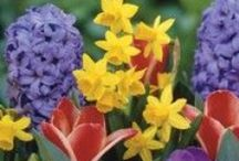 Bulbs To Plants For Spring Colour / Say hello to spring with some of these fabulous flowering bulbs!