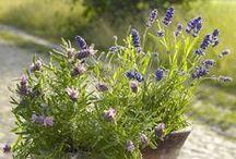Lavendel/Lavender