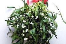 Fagyöngy - Mistletoe / Minden, amit a karácsonyi csókok megpecsételőjéről, a fagyöngyről tudni érdemes: http://balkonada.cafeblog.hu/2015/12/21/karacsonyi-csokok-megpecseteloje-a-fagyongy/