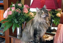 The Maine Coon / I Love Maine Coon Cats! / by Jo =^,^= Allen