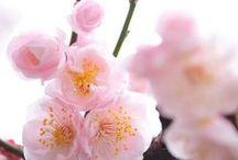 Sakura ~