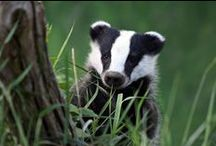 Badger safe house! / Badgers are the greatest ever <3