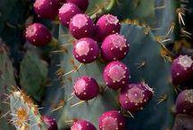 Kaktüs - cactus