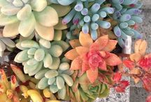 Succulents / I love them! / by Patty Fitts