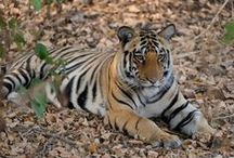 It Happens in Kanha, The largest of the Wildlife Sanctuaries in India / A stay at Shergarh, Kanha National Park