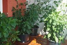 Unsere Chili Plantage 2014 / Wir haben das erste mal Chilis auf unseren Balkon gepflanzt.