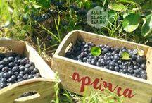 Blue Black Berry / Φωτογραφίες αρώνιας και μύρτιλλου, φυτών, καρπών και προϊόντων μεταποίησης τους, καλλιέργειας και παραγωγής  από την Blue Black Berry. / Photos of aronia (BlackChokeberry) and Blueberry, plants, fruits and products by Blue Black Berry.