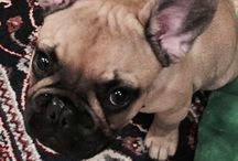 French bulldog and friends / Frenchie dog bulldog bouledogue francais