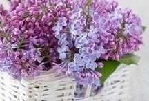Flora - Lilac