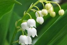 Flora - Lily of the valley