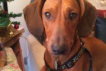 Mundo Salchi / Cosas relacionadas con perro raza datchshund