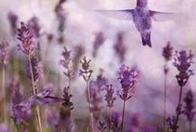 Lavender / Our new collection of Acqua di Bolgheri line. Enjoy of fresh and essential scent of natural essence from Italian Lavender.