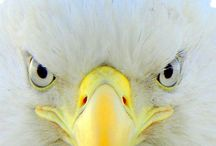 Bold & Free / The Bald Eagle......American or otherwise!!!