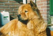 CHOW CHOW / nicest dogs i know
