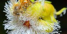 FOTOGRAFIAS DE ABEJAS EN FLORES - PHOTOGRAPHS OF BEES IN FLOWERS. / FOTOGRAFIAS DE ABEJAS EN FLORES - PHOTOGRAPHS OF BEES IN FLOWERS.