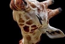Hooved Animals / by Susan Pletscher