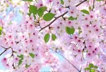 Fl : Cherry & Plum Blossom / Sakura & Ume