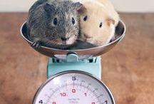 Meerschweinchen - Fotografieren - Inspiration - Tiere