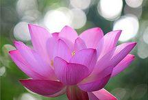 Fl : Lotus / Waterlilies