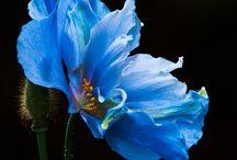 Fl : Poppies 2 / Blue poppies