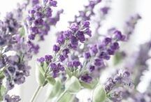 Fl : Lavender