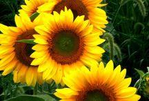 Fl : Sunflowers