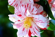 Fl : Camellias