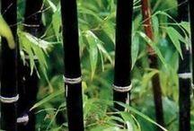 Pl : Bamboos
